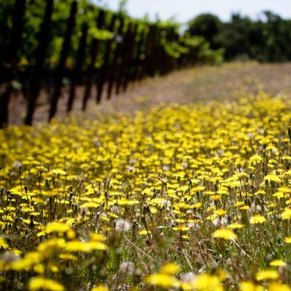 dandelions in the vineyard attract pollinators