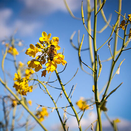 wild mustard in vineyard to attract pollinators