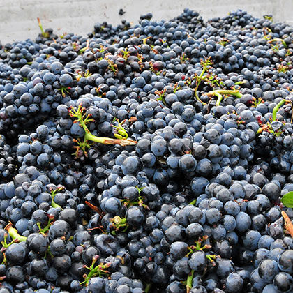 closeup of etude grapes ready for winemaking