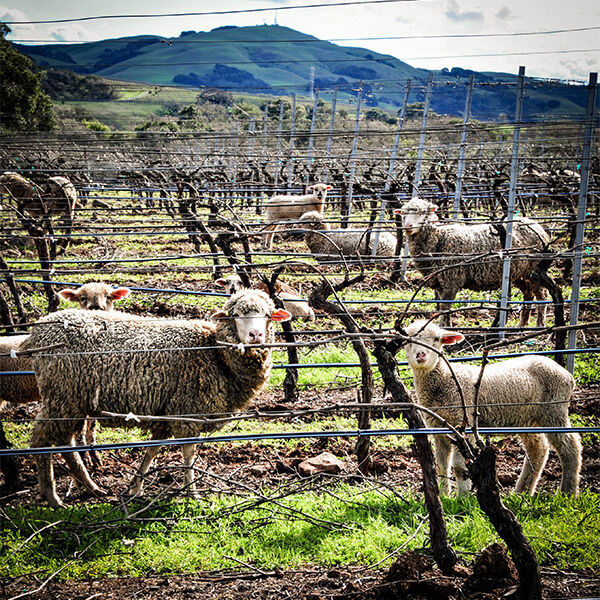 sheep are used in vineyard to mow the weeds and grass