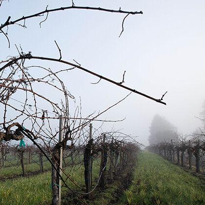 etude wineyard in the winter - dormant vines, fog