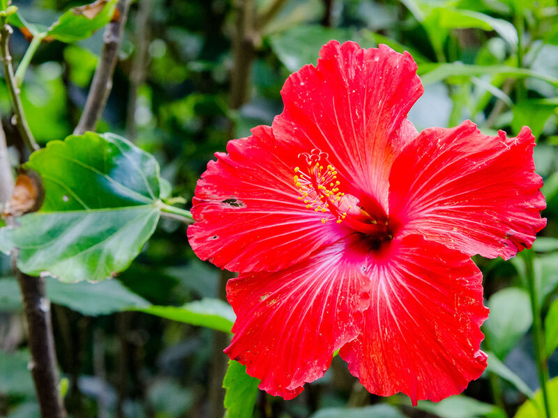 Hibiscus Tea, a Healthy, Delicious African Infusion