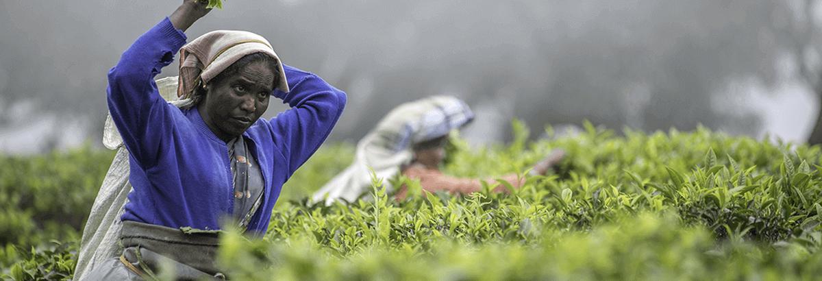 Où peut-on faire pousser du thé vert ?