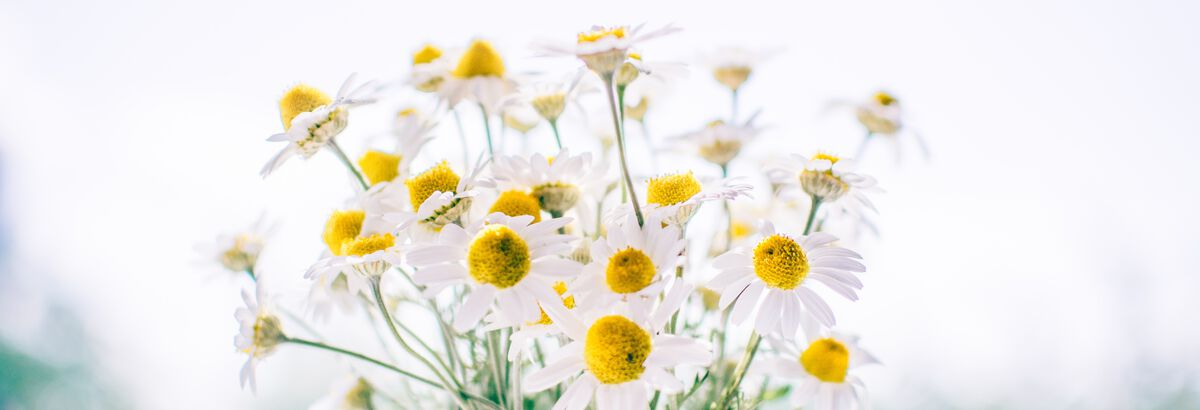 The countless benefits of chamomile infusions