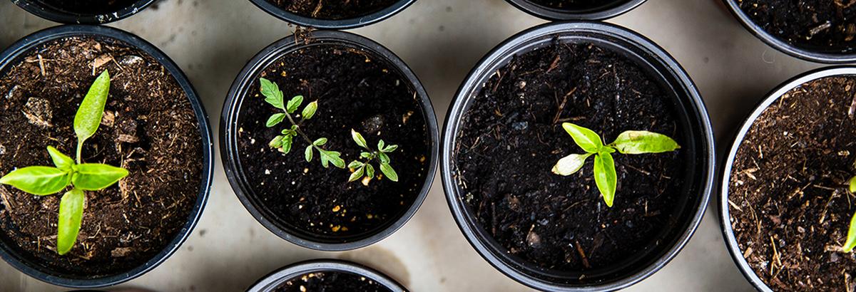 Comment faire pousser le thé vert pour le déguster maison ?