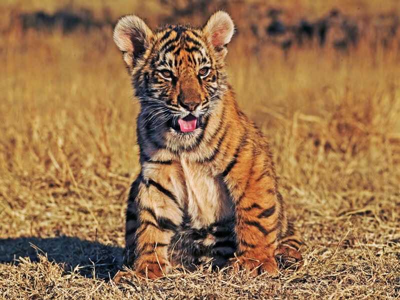 Tchai of the Tiger – Let's Protect Wild Tigers, Together
