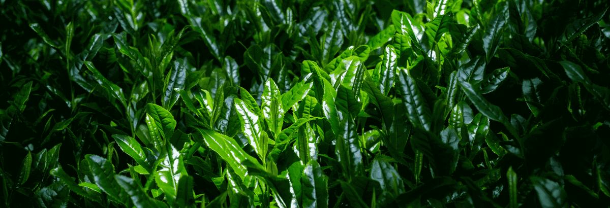 Thé vert japonais, le thé Gyokuro