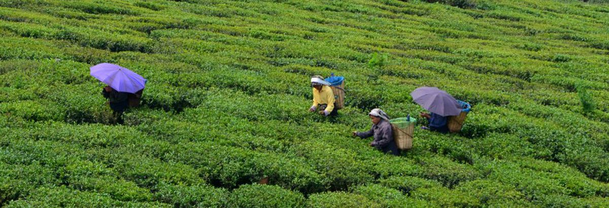 Exceptional teas: Have you heard of Darjeeling tea from the Makaibari Estate?