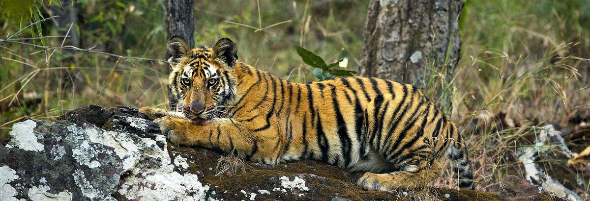 Contribuons à la protection des tigres sauvages avec Stéphane Ringuet !  | Kusmi Tea