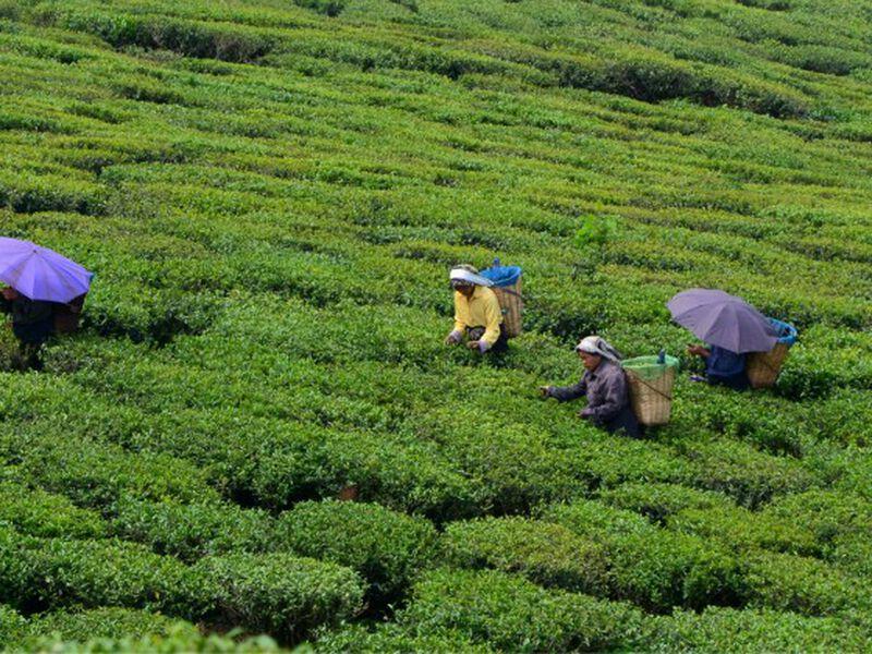 Thé d'exception : connaissez-vous le thé Darjeeling du jardin Makaibari ?