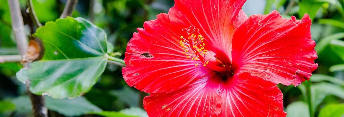 L'infusion d'hibiscus : les bienfaits d'une tisane venue d'Afrique