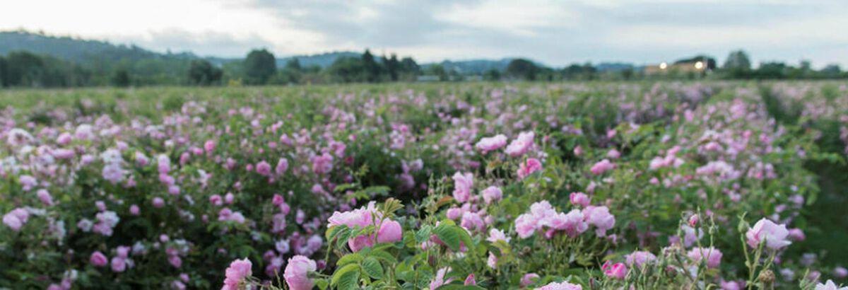 La rose et le thé : un mariage de goûts et de bienfaits