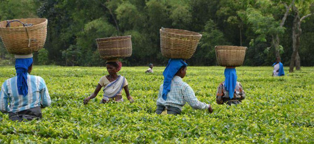 A la découverte du thé Darjeeling, le champagne des thés